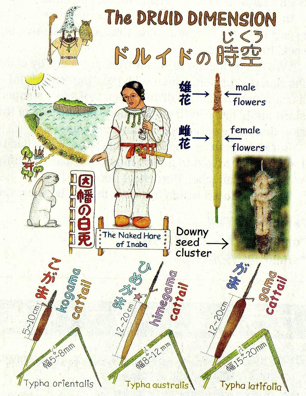 Japanese Cattails Gama No Nakama And The Legend Of Okuninushi And