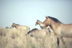 Steppe forth: Przewalski's horses roam the West Lake national nature reserve near Xihu, northwest China, on May 13. | AFP-JIJI