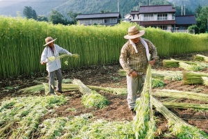 Farmers harvest cannibis at a licensed farm in Tochigi Prefecture